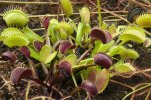 42ef117231_50173020_plante-carnivore.jpg